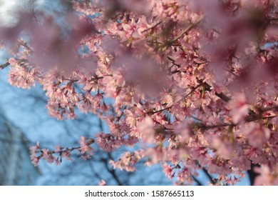 """This was taken last year in spring the """"blooming era"""" I saw the wonderful flowers in the city it brought life to the sidewalk they looked gorgeous when they fell on the sidewalk it's looked blissful"""