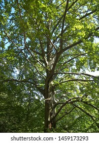 This tall beech has long branches. The tree is living inside a forest. Many green leaves are on the branches.