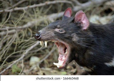 this is a Tasmanian devil snarling fiercely