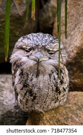 This Tawny Frogmouth wasn't impressed ! This is a Tawny Frogmouth and often confused for Owls! It's native to Australia.
