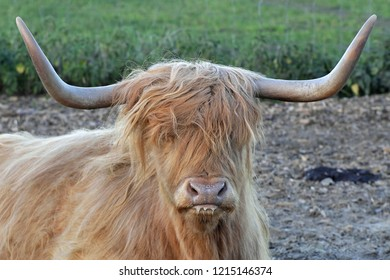 This is traditional Scottish breed called Highland cattle