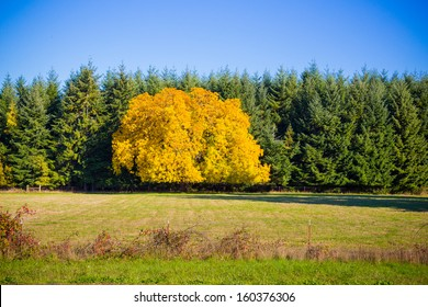 This tree is completely different from the rest showing its unique fall autumn colors against a crowd of fir trees whos leaves don't change.
