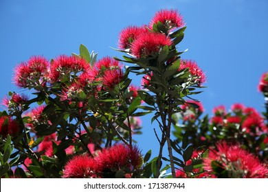 This tree is a firm favourite with Kiwis everywhere. The tree puts on this spectacular display as Christmas approaches. Here, the red flowers and dark green foliage is set against a deep blue sky.