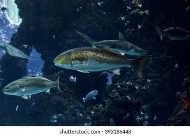 This is tuna in a large aquarium Oceanographic Museum of Monaco.