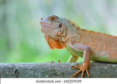 This type of iguana is dark red to orange. Many red iguanas are preserved in Indonesia. Body shape is similar to the Green Iguana, only the color is dominated by red
