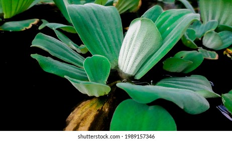 This type of leaf usually used in fishpond to make the fishpond beauty