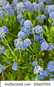 This vertical image is of the flowering bush ceanothus impressus 'Victoria', or Santa Barbara mountain lilac with its fragrant blue spike flowers.