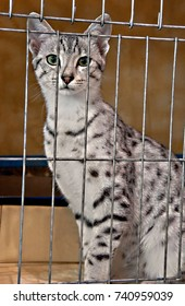 This vertical stock image shows a beautiful spotted Egyptian Maus feline cat in a cage.  Very striking animal.