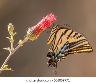 This very brightly colored two-tailed swallowtail is partially backlit while feeding on nectar from the flower.