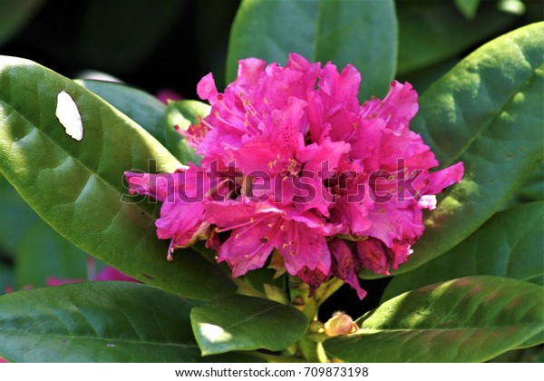 This Very Decorative Rhododendron Pink Flowers Stock Photo Edit