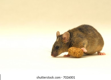 This is a very special genetic modified lab mouse. Look at the white spot on his head!