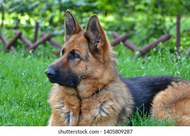This is a view of bitch of german shepherd named Sara.