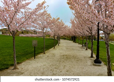 This walking path lined with Cherry Blossom Trees located on the Utah State Capitol park grounds, with park benches ready to enjoy on a Spring day.  Salt Lake City.