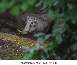 This warthog staying hiding behind trees