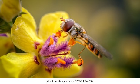THis is the well known Marmalade Hoverfly feeding on thew pollen of a Verbaccum in out rear garden. This hoverfly is one of the few flies able to crush and feed on poleen grains.