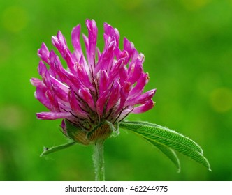 This is the wildflower Trifolium alpestre, the Purple globe clover or Owl-head clover, from the family Fabaceae