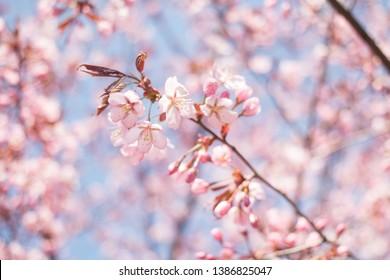 This year's first cherry blossoms at the Roihuvuori Cherry Park