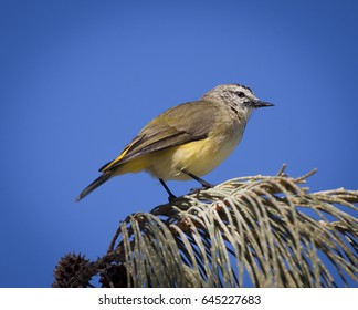 This is a Yellow-rumped thornbill, Also known as a Butterbum to Australian bird watchers. They feed on insects and seeds. They can also mimic the calls of other birds. Photographed in QLD Australia..