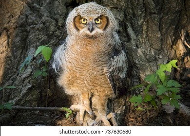 This young Great Horned Owl had not been venturing out of the nest long when I discovered him at the base of a large Cottonwood tree at sunrise. He was safe from my approach surrounded by poison ivy.