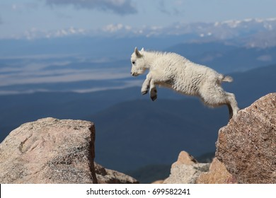 This young mountain goat displayed agility and gracefulness when jumping from rock to rock. Mountain goats are not true goats and are more closely related to the antelope.