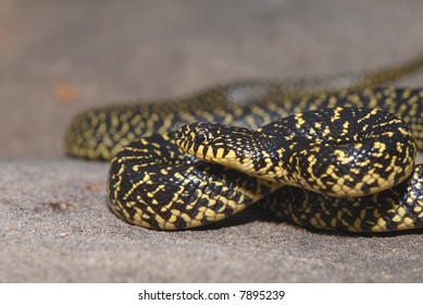 This young speckled kingsnake is showing a high amount of yellow for this species.