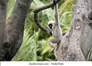 this is a young white faced gibbon playing