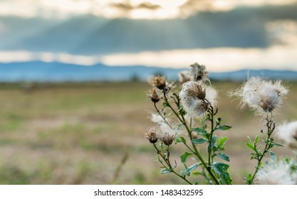 Thistle ( Asteraceae) seeds at the end of summer on focus, divine lights at sunset, copy space.
