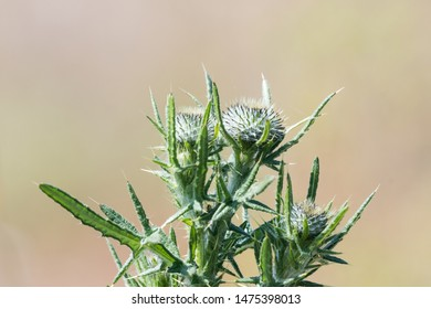 Thistle buds close up by a blurred background