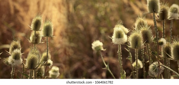 Thistle - burdock in meadow, wild plant lit by sunlight in late afternoon (dusk)