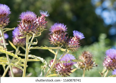 Thistle. Cardoon (Cynara cardunculus) or artichoke thistle selective focus close-up. Purple flowering edible plant