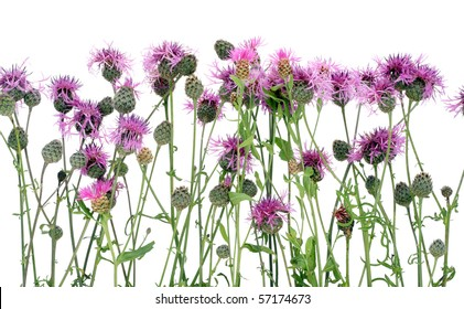 Thistle (Cirsium arvense) with pink flowers and buds texture. Isolated on white.