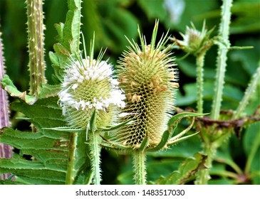 Thistle is the common name of a group of flowering plants characterised by leaves with sharp prickles on the margins, mostly in the family Asteraceae.