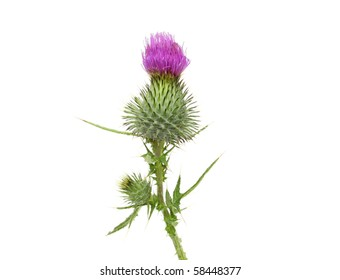 Thistle flower head