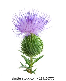 thistle flower isolated on white