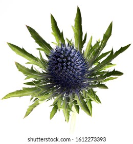 Thistle flower isolated on white background. Arty, bright green and blue color Thistle bloom. Studio shot