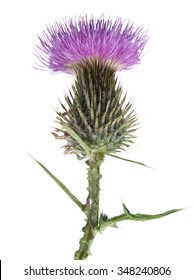 Royalty Free Scottish Thistle Stock Images Photos Vectors
