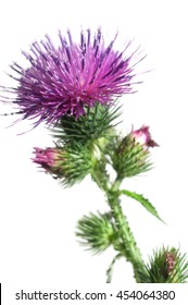 Thistle flower over white background, closeup shot