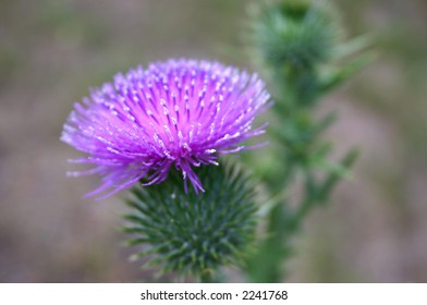 Thistle flower with shallow depth of field