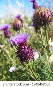 thistle flower and wild nature texture
