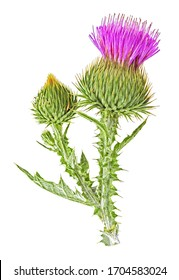 Thistle flowers isolated on a white background, top view.