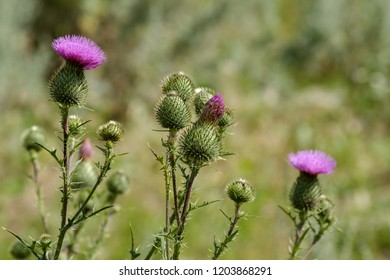 a lot of Thistle flowers on a green summer day outdoors outdoors, grass with thorns