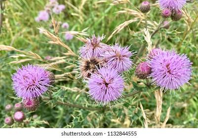Thistle flowers, Seaton Carew Sand Dunes, Hartlepool, England