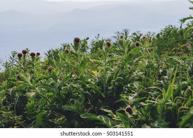 Thistle growing on top of a hill
