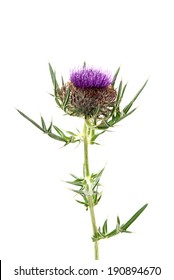 thistle isolated on a over white background