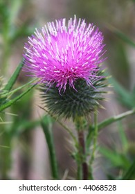 Thistle, the national flower of Scotland