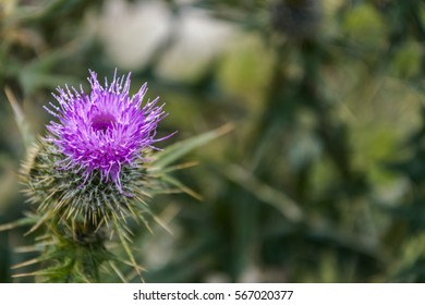 thistle on a blurred background