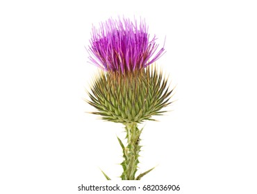 Thistle on a white background