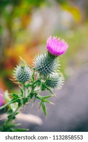 Thistle plant in blossom. The Thistle also the national symbol of Scotland.