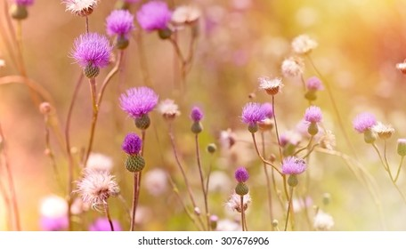 Thistle purple flowers - burdock lit by light of sunset