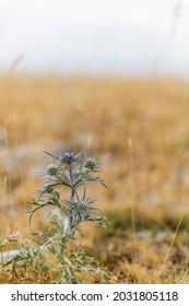 thistle, rustic flowers in croatian landscape